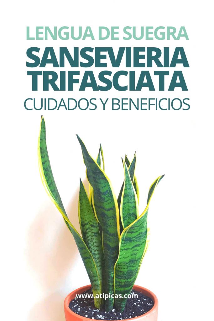 Cuidados de la Sansevieria trifasciata o Lengua de suegra
