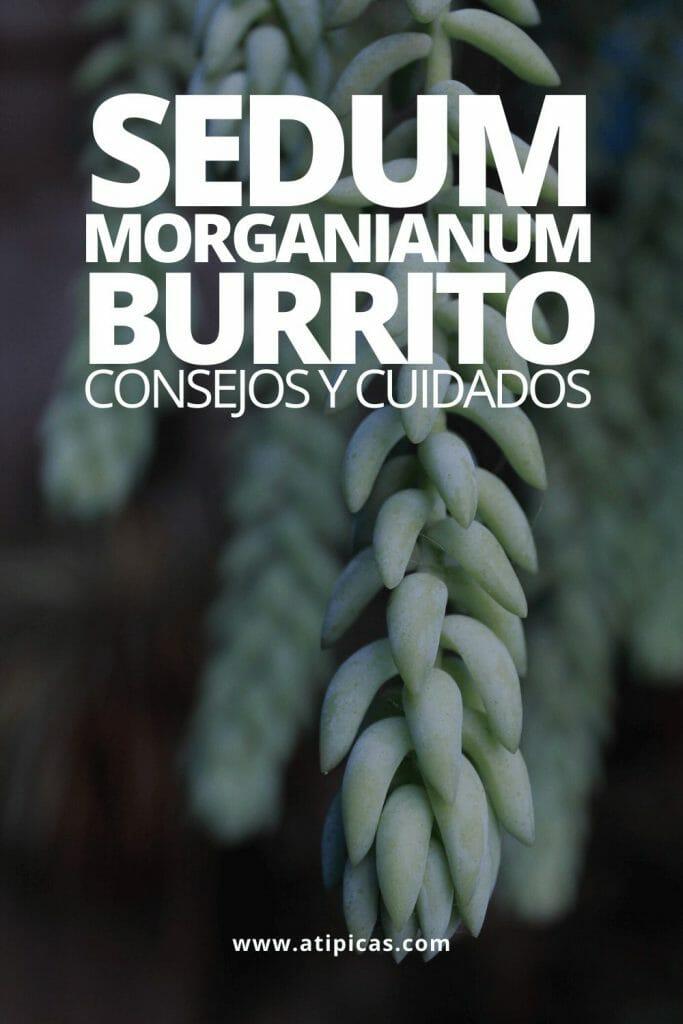 """Consejos y cuidados de Sedum morganianum """"burrito"""""""