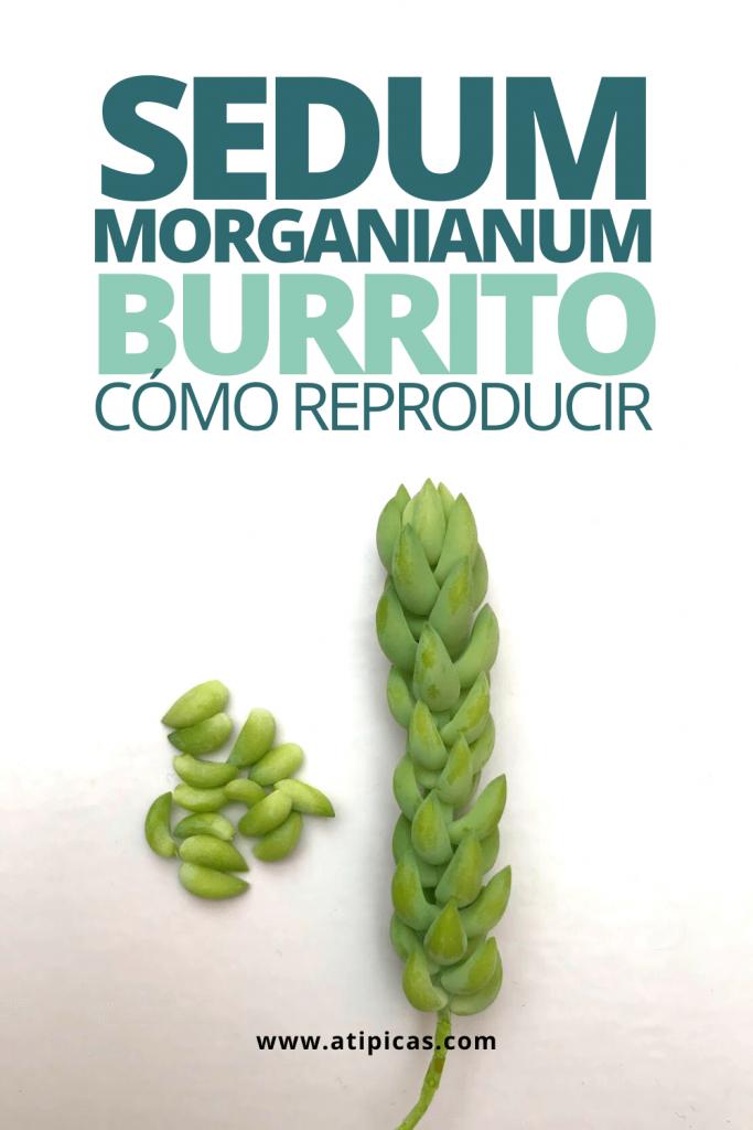 "Cómo reproducir Sedum morganianum ""burrito"""