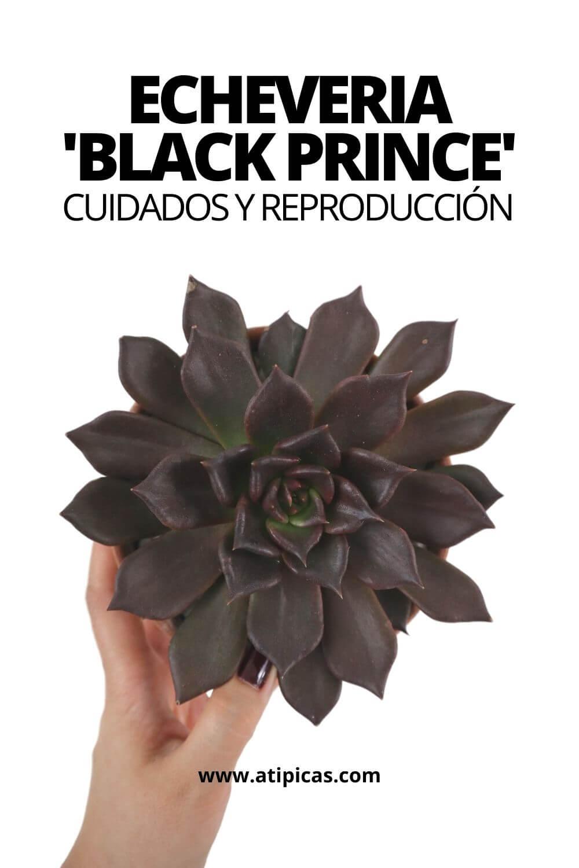 Echeveria Black Prince cuidados y reproducción