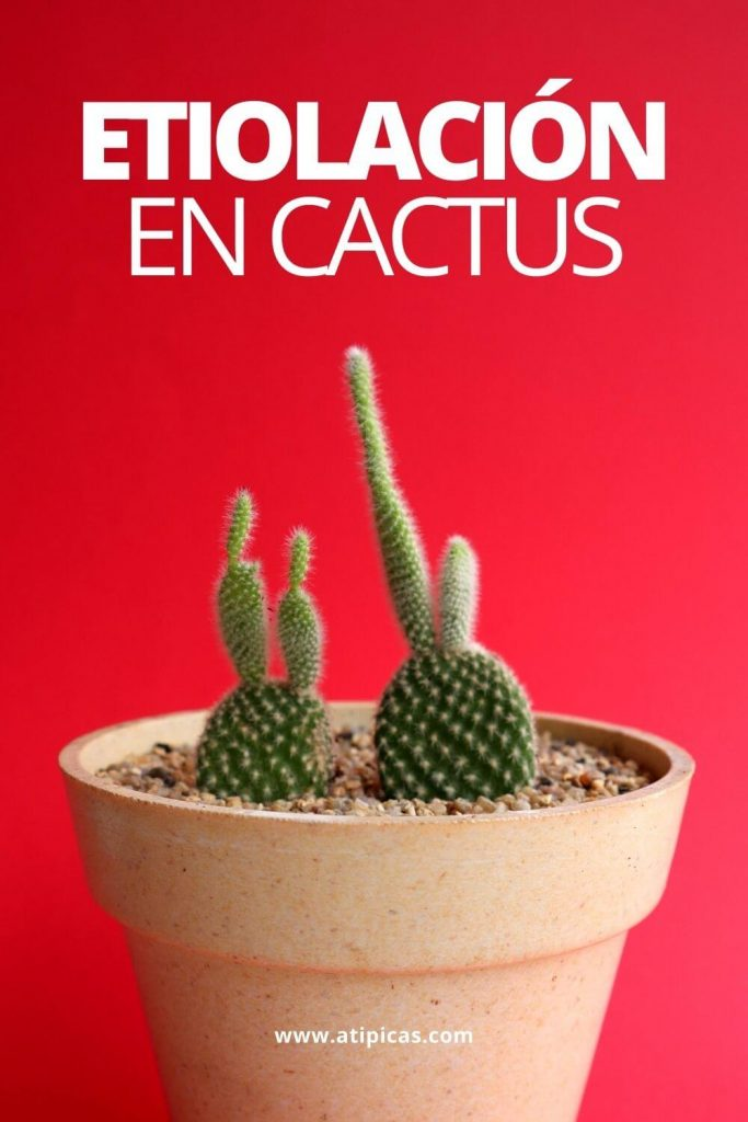 Etiolación en cactus